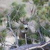 Mule Deer Buck_SS5236