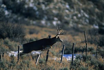 Mule Deer-191