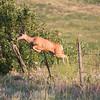 Jumping Mule Deer Doe_SS9337