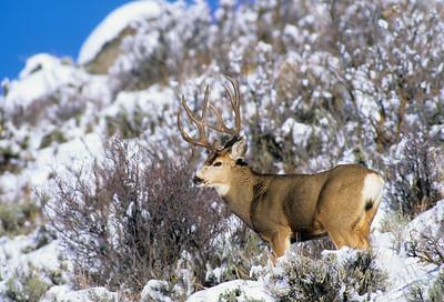 Mule Deer-310