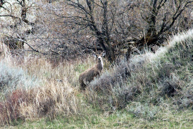 Mule Deer in Spring_RS81388