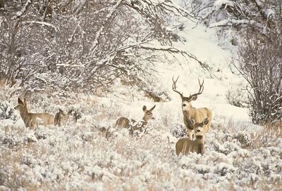 Mule Deer-200