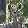 Mule Deer Doe_SS6792