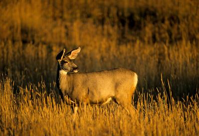 Mule Deer-368