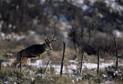 Mule Deer-230