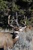 Mule Deer-1515