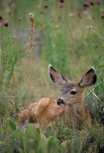 Mule Deer-304