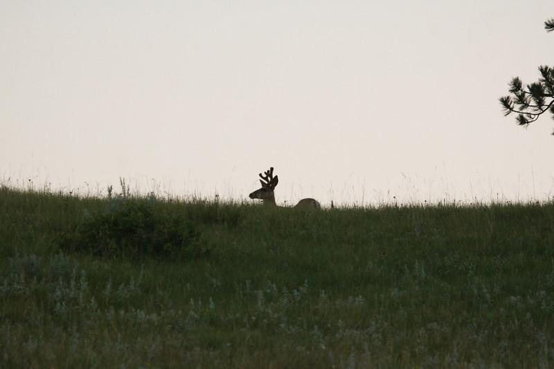 Mule Deer silhouette _SS9651