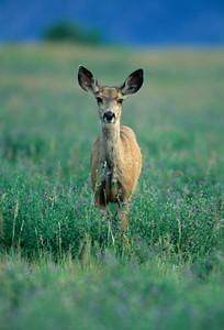 Mule Deer-388