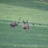 Mule Deer Bucks_SS0257