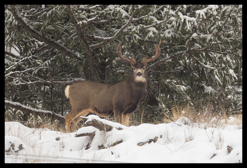 Ferry County Mule Deer