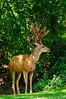 Mule Deer-4509