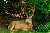 Mule Deer-4481