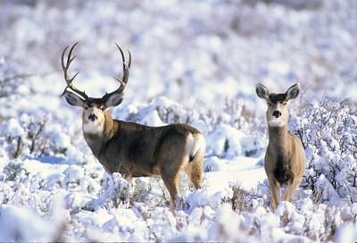 Mule Deer-314