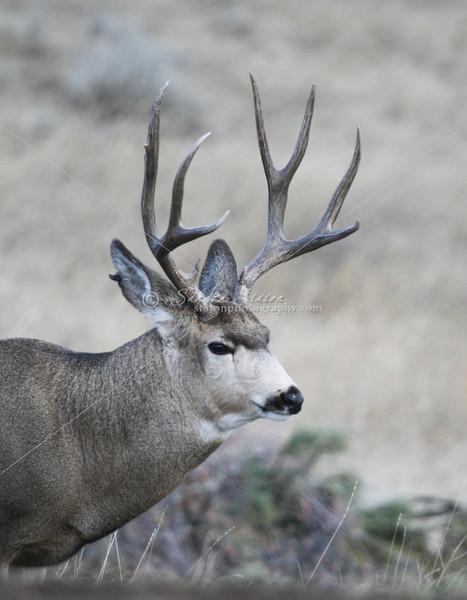 Mule Deer Buck_SS5364