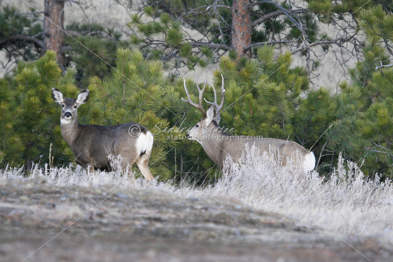 Mule Deer Buck and Doe_SS5134