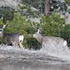 Mule Deer Buck and Doe_SS5134