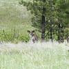 Mule Deer in Velvet_SS5393