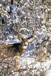 Mule Deer-307