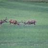 Mule Deer Fight_SS0330