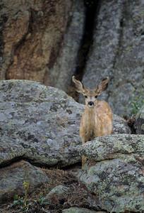 Mule Deer-198