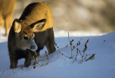 Mule Deer-173