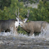 Mule Deer Buck and Doe_SS5156