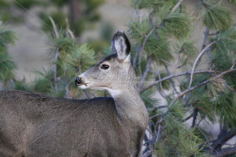 Mule Deer Doe_SS5233