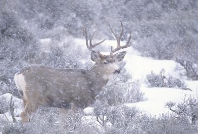 Mule Deer-236