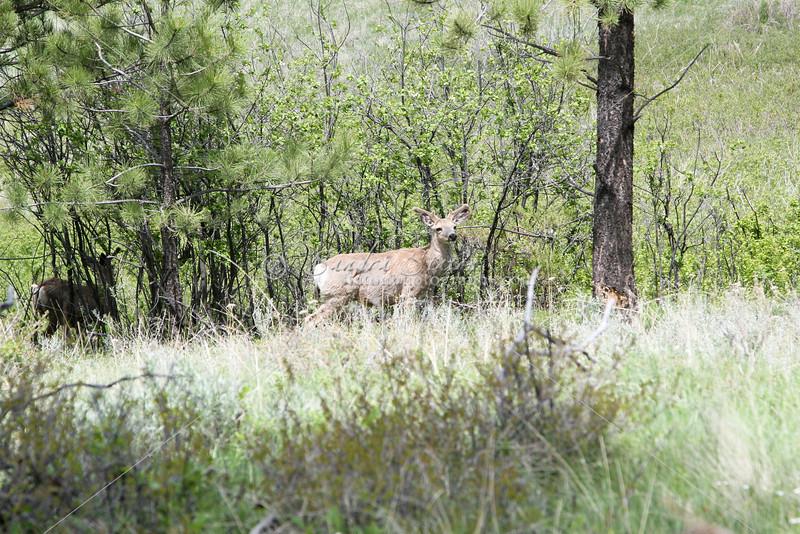 Mule Deer_SS5399