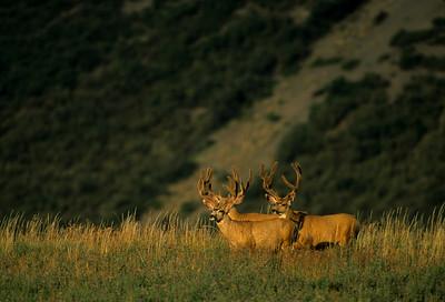 Mule Deer-381