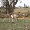 Mule Deer_RS0010c