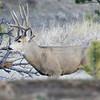 Mule Deer Buck_SS5117