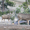 Mule Deer Buck and Doe_SS5229