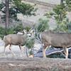 Mule Deer Buck and Doe_SS5229