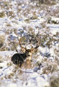 Mule Deer-308
