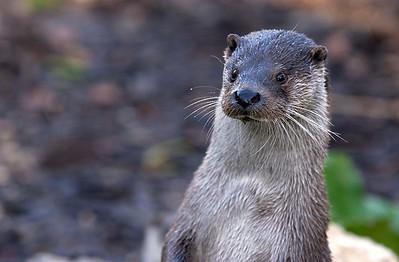 Eurasian Otter - Captivity