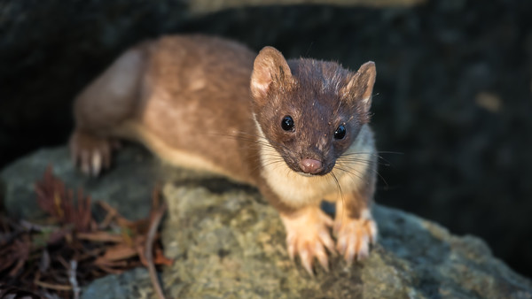A weasel resting on a rock