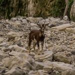 Feral Goat, Capra hircus. Marlborough