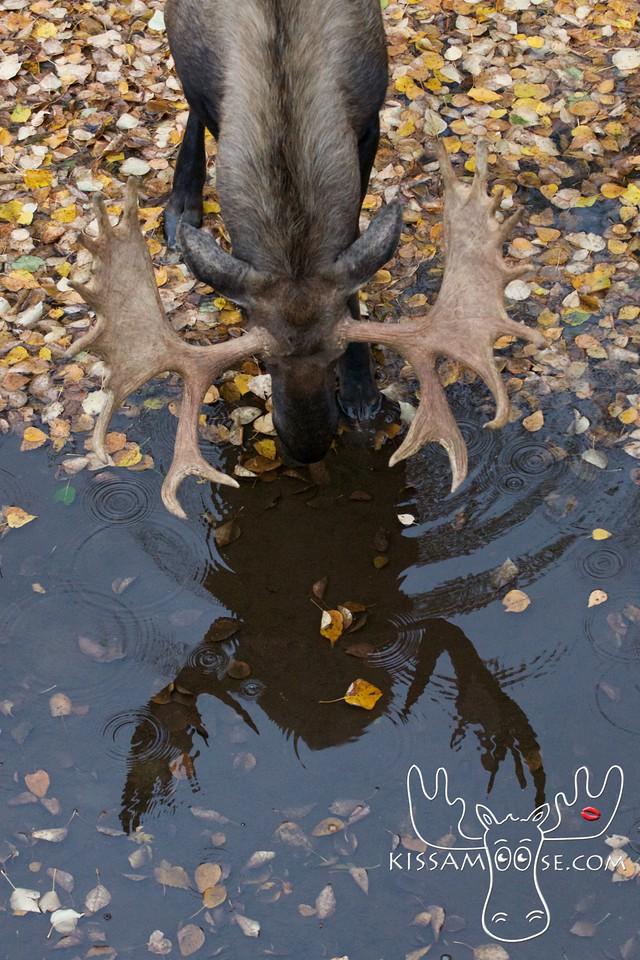 Reflection Moose