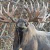 Alaska, Moose, bull moose, Hook, Anchorage