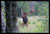 Nooksack Elk