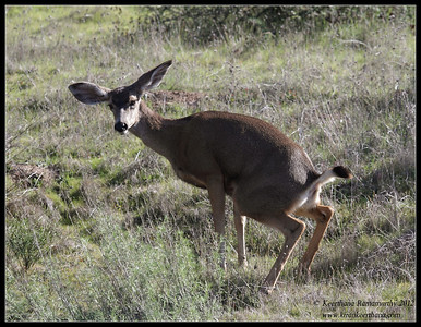 Mule Deer caught in the act, Lake Jennings, San Diego County, California, January 2012