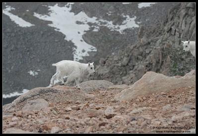Mountain Goat, Mount Evans, Colorado, June 2016