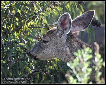 Mule Deer eating berries, Lake Jennings, San Diego County, California, January 2012