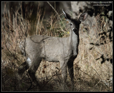 White-tailed Deer, Madera Canyon, Arizona, November 2011