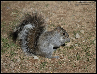 Arizona Gray Squirrel at Santa Rita Lodge, Madera Canyon, Arizona, November 2011