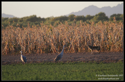Coyote stalking the sandhill cranes, Cibola National Wildlife Refuge, Arizona, November 2012