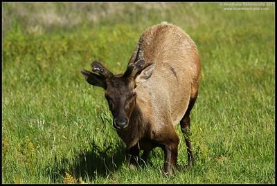 Elk, Prairie Creek Stats Park, Redwoods National Park, California, May 2021