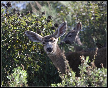 Mule Deer, Lake Jennings, San Diego County, California, January 2012